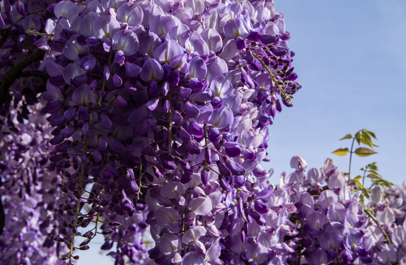 <p>The awesome blossom of Glyzine or Wisterie in Zurich, Switzerland.</p>