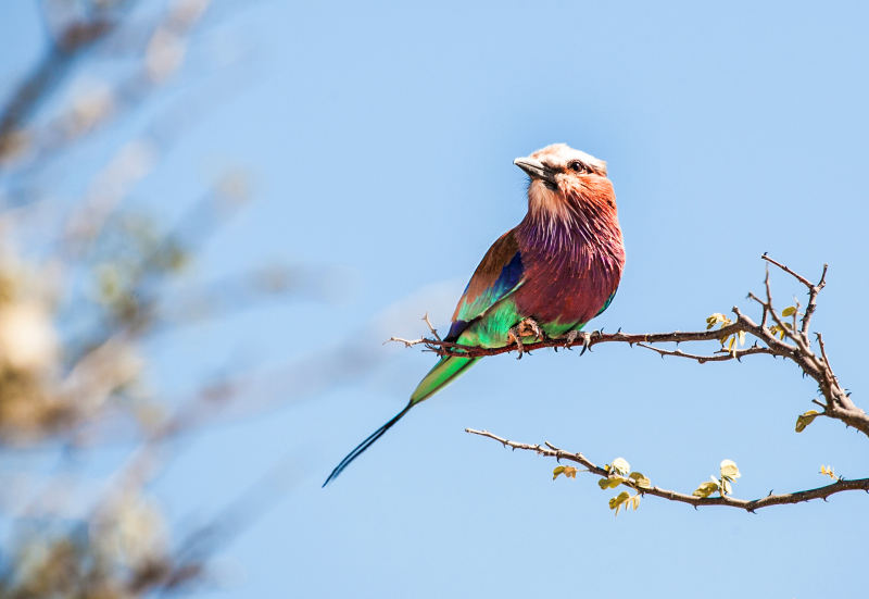 <p>One of the most beautiful birds on earth, a lilac-breasted roller at the Etosha National Park, Namibia.</p>