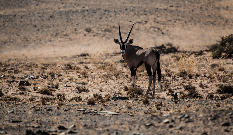 <p>Oryx at Damaraland, Namibia.</p>
