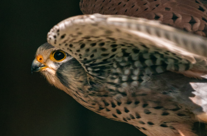 <p>Kestrel in Switzerland</p>