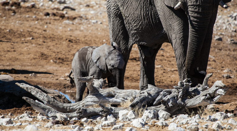 <p>At the Olifantsbad waterhole at Etosha NP, Namibia.</p>