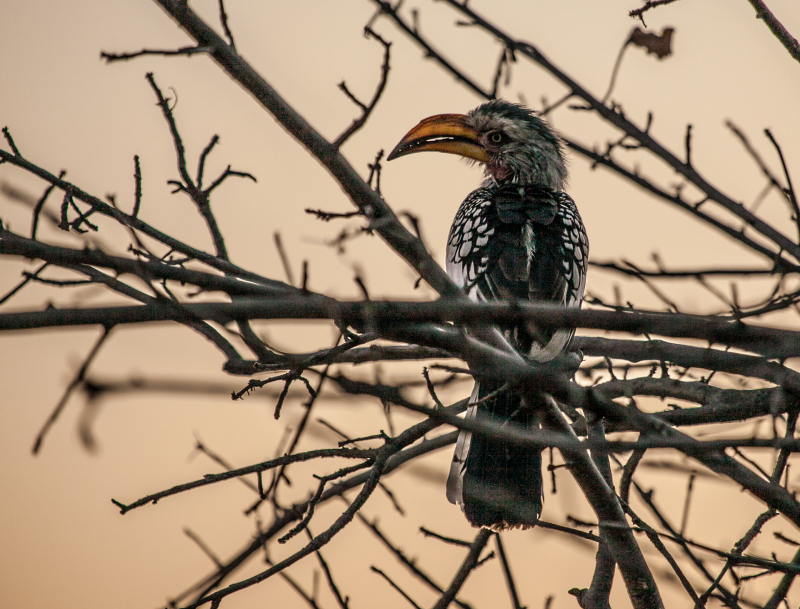 <p>Snapshot of a yellow-billed hornbill (Toko) at Etosha National Park, Namibia.</p>