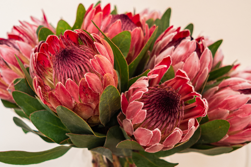 <p>Protea sometimes also called sugarbushes, South Africa.</p>