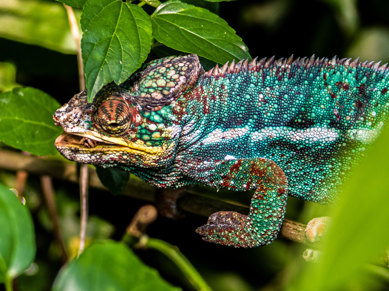 <p>The panther chameleon (Furcifer pardalis) is a species of chameleon found in the eastern and northern parts of Madagascar.</p>