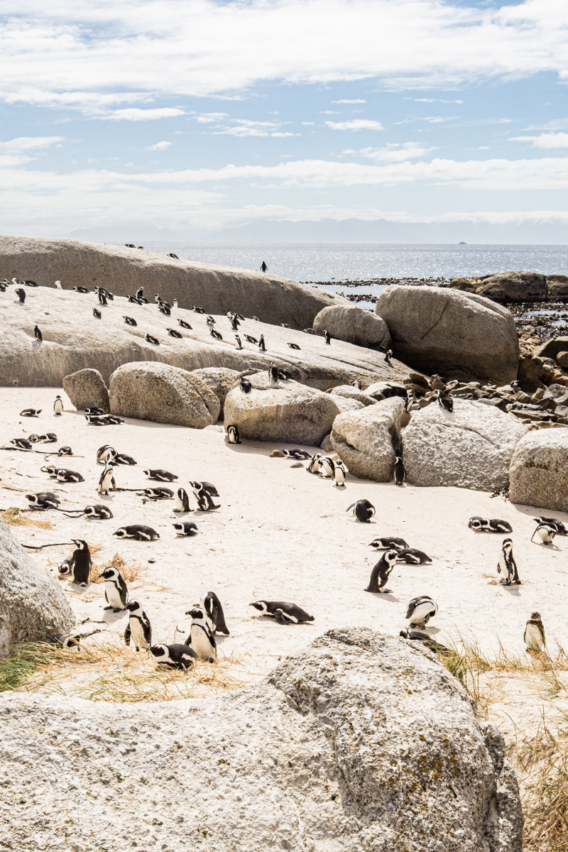 <p>Boulders Beach Penguin Colony (Simon's Town), South Africa.</p>