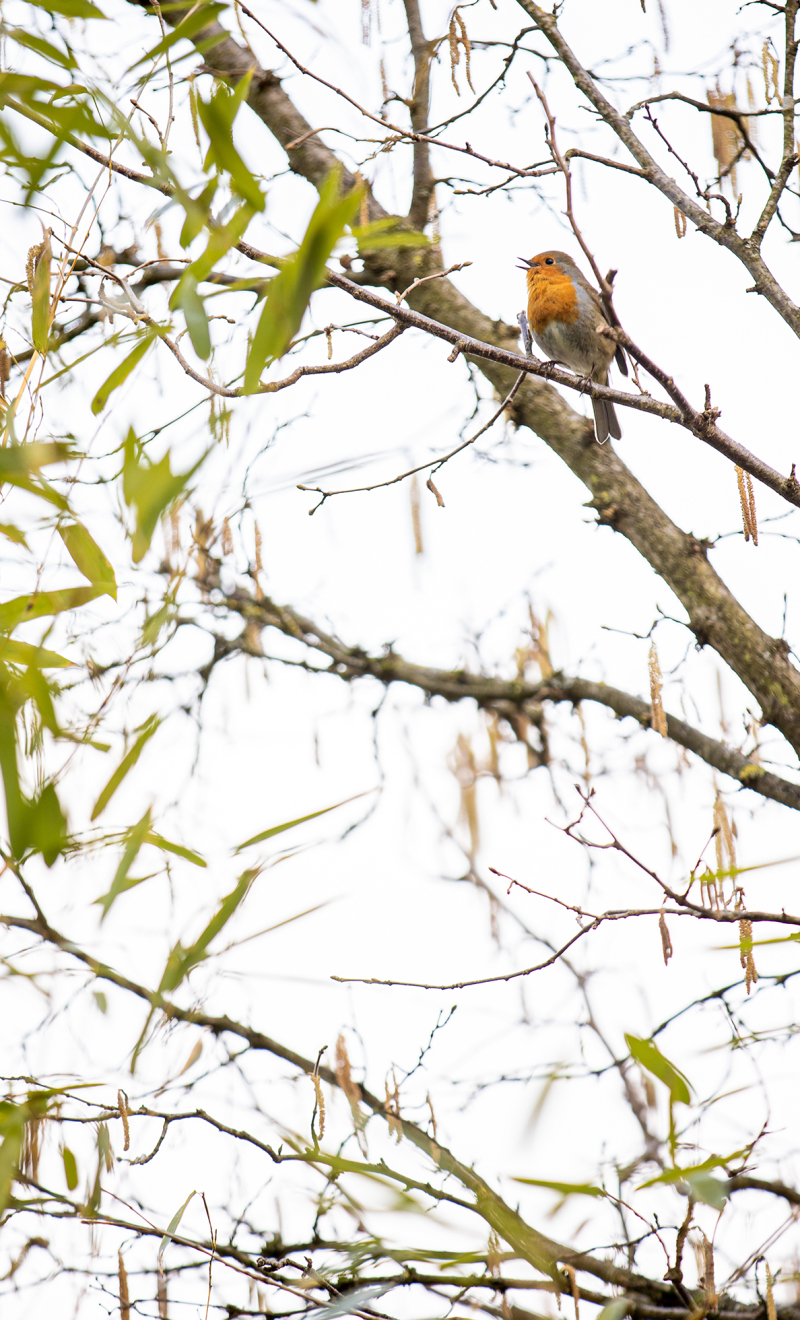 <p>The lovely bright voice of the robin is a real sign of spring. </p>
