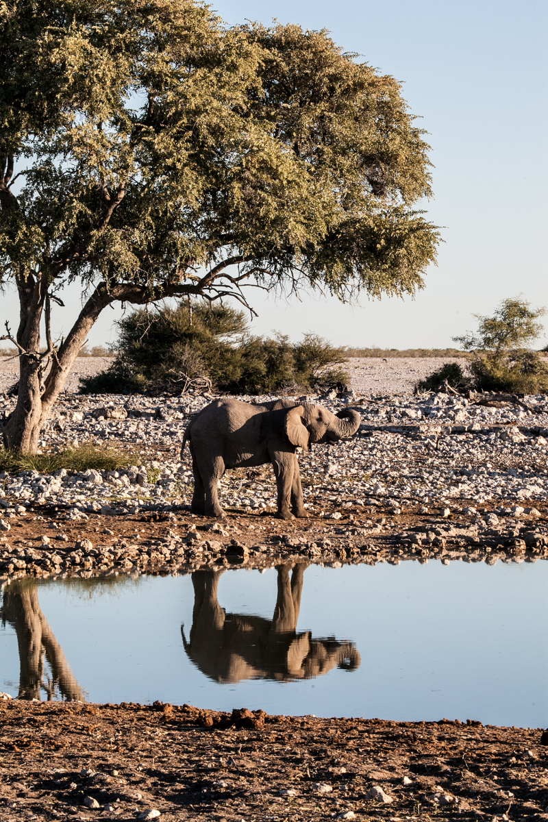 <p>It has not yet been finally discussed whether my dear wife took this picture with my camera, or I... therefore, in case of doubt (and for my own safety): Picture Credits to Seda Sirin and myself.<br />Etosha National Park, Namibia.</p>
