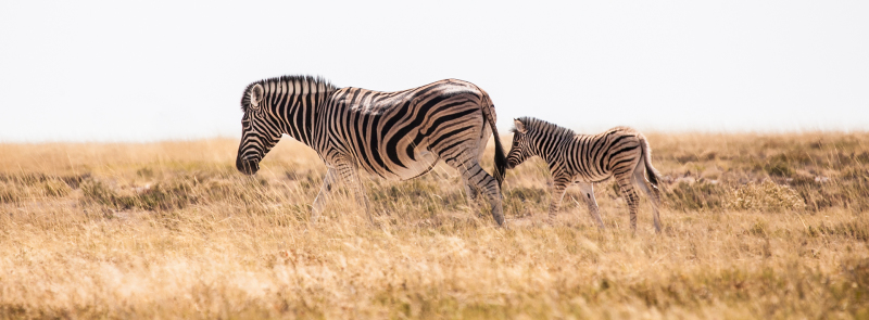 <p>A zebra with her calf at the Etosha National Park, Namibia.</p>