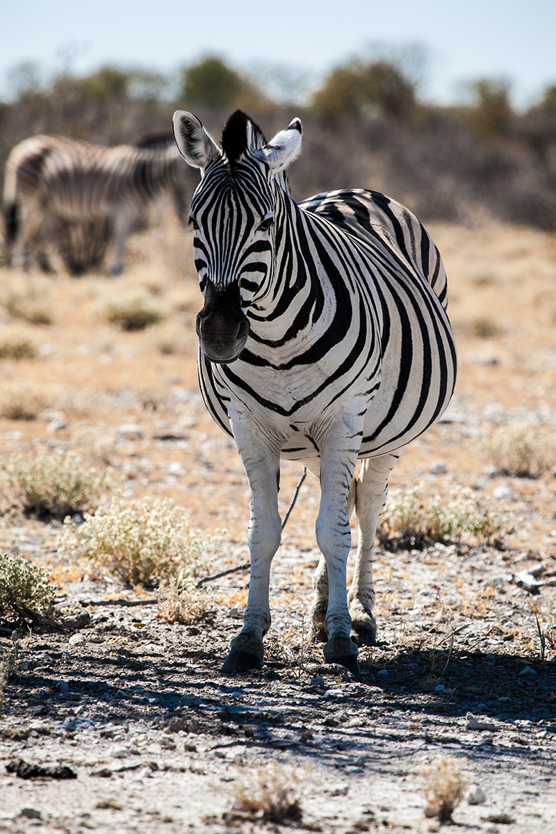 A curious fellow at the Etosha NP, Nambia.